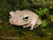Esmerald Eyed Tree Frog