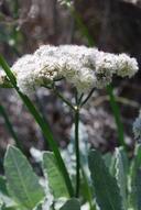 Eriogonum grande var. timorum