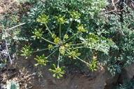 Lomatium insulare