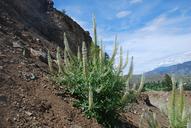 Thelypodium laciniatum var. laciniatum