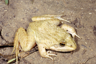 Dusky-throated River Frog