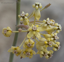 Asclepias albicans