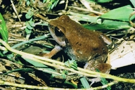Savanna Squeaking Frog