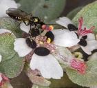 Chamaesyce pediculifera
