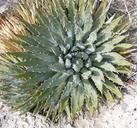 Agave utahensis var. eborispina