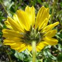 Encelia californica