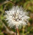 Malacothrix saxatilis var. tenuifolia