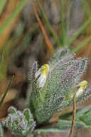 Chloropyron molle ssp. hispidum