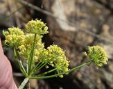 Lomatium congdonii