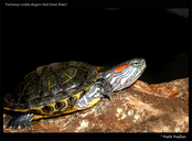 Red Eared Slider (juvenile)
