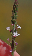 Verbena californica