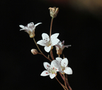 Jepsonia heterandra