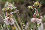 Cirsium fontinale var. obispoense