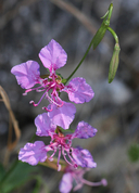 Clarkia mildrediae ssp. mildrediae