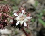 Horkelia tridentata ssp. tridentata