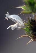 Acanthomintha lanceolata