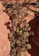 Phacelia perityloides var. jaegeri