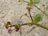 Anulocaulis annulatus