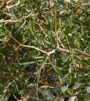 Psorothamnus fremontii