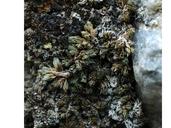 Selaginella leucobryoides