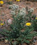 Lepidium thurberi