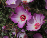 Clarkia gracilis ssp. tracyi