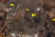 Calycadenia micrantha