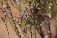Campanula angustiflora