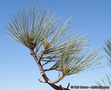 Pinus torreyana ssp. torreyana
