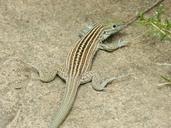 """Unisexual adult Aspidoscelis neomexicana<br /><strong>Location:</strong> Albuquerque BioPark Zoo (Bernalillo, New Mexico, US)<br /><strong>Author:</strong> <a href=""""http://calphotos.berkeley.edu/cgi/photographer_query?where-name_full=Vicente+Mata-Silva&one=T"""">Vicente Mata-Silva</a>"""