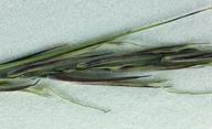Aristida dichotoma