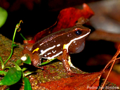 Brilliant Thighed Frog