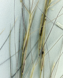 Aristida purpurea var. fendleriana