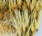 Ericameria nauseosa var. leiosperma