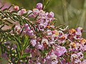 Hairy Gray Heather