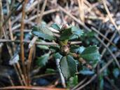 Ceanothus gloriosus var. porrectus