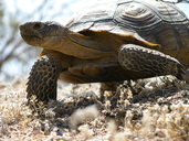"<strong>Location:</strong> Mojave National Preserve (San Bernardino County, California, US)<br /><strong>Author:</strong> <a href=""http://calphotos.berkeley.edu/cgi/photographer_query?where-name_full=Sam+McNally&one=T"">Sam McNally</a>"