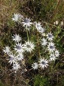 Eryngium heterophyllum