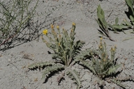 Crepis occidentalis ssp. occidentalis