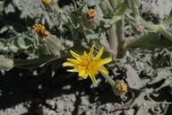 Crepis occidentalis ssp. occidentalis