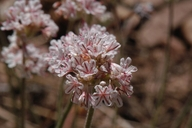 Eriogonum kennedyi ssp. austromontanum