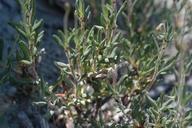 Eriogonum microthecum var. lacus-ursi