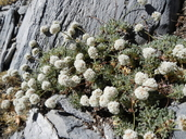 Eriogonum breedlovei var. breedlovei