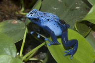 Dying Poison Frog
