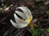 Erythronium citrinum var. citrinum