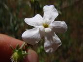 Hackelia bella