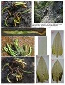 Anomobryum julaceum