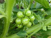 Solanum physalifolium var. nitidibaccatum