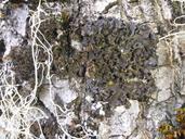 Leptogium pseudofurfuraceum