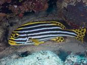 Plectorhinchus vittatus